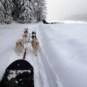 Attelage de chiens de traîneaux en forêt