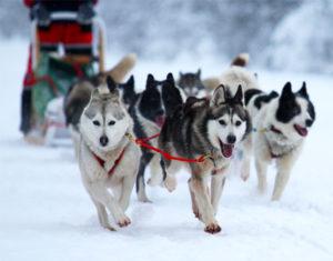 Activités balade en chien de traineaux, raquettes, biathlon